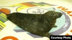 Серый тюлень Филя. Фото Мурманского океанариума