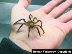 A tengeri pókok akár hét kilométert is meg tudnak tenni a tenger mélyén.