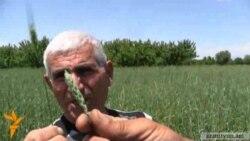 Գյուղացիները դժգոհ են ցորենի էլիտար սերմացուի բերքատվությունից