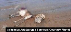 Мертвые олени на берегу Хатанги