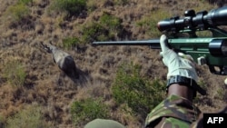 A Kenya Wildlife Services (KWS) employee prepares to shoot a tranquilizer dart at a wild male black rhino from a helicopter in Lewa conservancy in August.