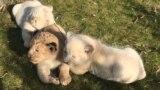 Разноцветное пополнение в парке львов: в «Тайгане» родились львята (видео)