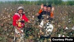 Өзбекстанда өспүрүмдөрдүн пахта терүүгө мажбурланышы сынга кабылып келет.