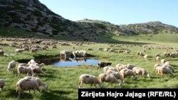Kopetë e deleve rrëzë Malit të Pelisterit..