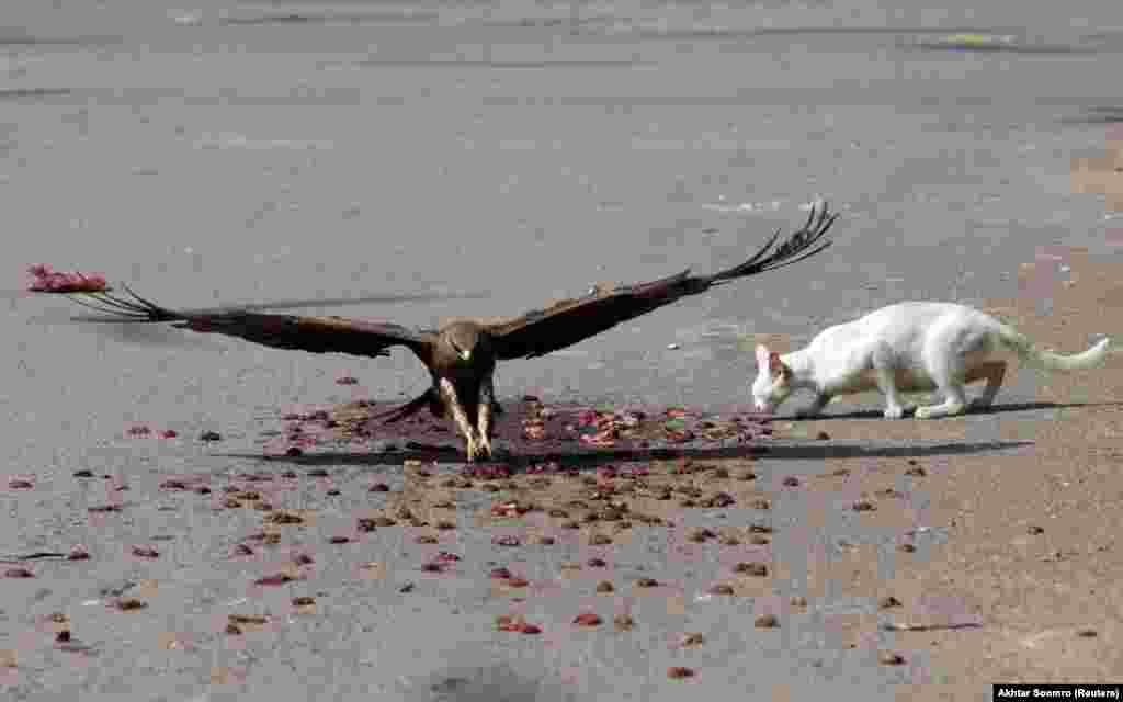 A black kite flies past a cat to catch a piece of meat, left by people who believe feeding birds and other animals brings good luck, along a road in Karachi, Pakistan. (Reuters/Akhtar Soomro)