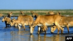 Saiga antelope drink from a lake outside Almaty. The saiga is a critically endangered species, with most of the surviving animals in Kazakhstan, parts of Mongolia, and Russia's Kalmykia Republic.