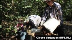 В Галском районе планируется собрать 3500 тонн ореха. В прошлом году в районе смогли сохранить только 20% урожая