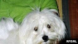 به گفته کارشناسان، عمده سگ های محبوبی که جثه هايی کوچک دارند و در خانه نگهداری می شوند، (Toy Dog) در گروه سگ های حساسی طبقه بندی می شوند که رابطه شان با صاحبانشان، به وابستگی عميقی می انجامد که گاه می تواند در صورت گسستن اين ارتباط، به مرگ آنها منجر شود.