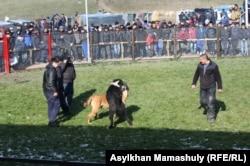 Собачьи бои. Село Узынагаш Алматинской области. 10 ноября 2014 года.