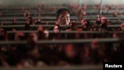 Қытайдың Шанхай қаласы маңындағы құс фабрикасында. 16 сәуір 2013 жыл.