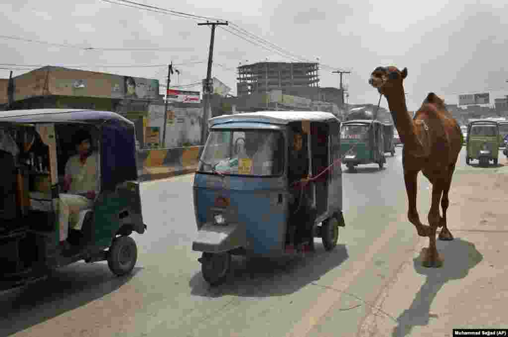 A Pakistani man on a tuk-tuk motorcycle leads a camel he bought for the upcoming Muslim Eid al-Adha holiday in Peshawar on August 15. (AP/Muhammad Sajjad)