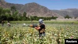 آرشیف، نیروهای پولیس در حال تخریب مزارع کوکنار