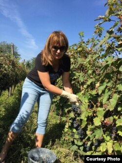 Жена экс-президента, уроженка Нидерландов, Сандра Руловс на винограднике в Кахетии