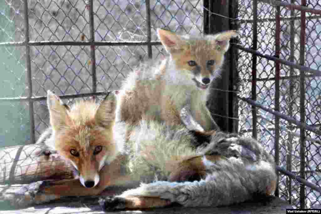 Экологи КР выступают против принятия законопроекта об охотничьих хозяйствах, разрещающего отстрел животных, занесенных в Красную книгу.