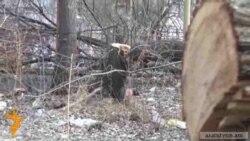 Բնակիչներն ամեն առավոտ հատված ծառ են գտնում բակում