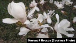 Цветение магнолии Лебнера в Никитском ботсаду