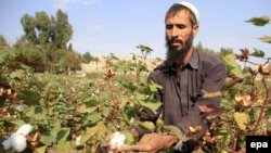 An Afghan man collects cotton on the outskirts of Jalalabad.