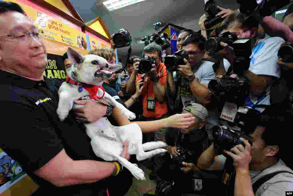 Filipino veterinarian Anton Lim (left) carries a 2-year-old mongrel dog named Kabang while photographers take photos during a press conference in Manila. Kabang returned to the Philippines to a hero's welcome following surgery in the United States to reconstruct her face. The dog lost its snout and upper jaw in a road accident in 2011 when she supposedly put herself in harm's way to save two girls from being struck by a motorcycle. (AFP/Ted Aljibe)