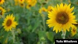 Lan de floarea-soarelui lângă Bacioi