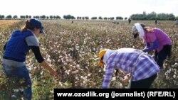 Өзбекстанда мақта теріп жүрген адамдар. (Көрнекі сурет)