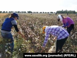 Uzbek citizens often spend weeks on end bringing in the cotton harvest (file photo).