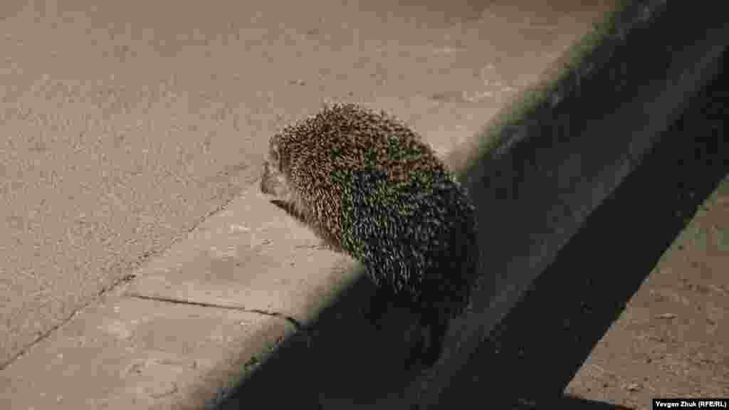 Їжак – нічна тварина, він вийшов на прогулянку