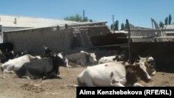 Коровы во дворе дома в селе Кызылординской области. 26 июня 2014 года.