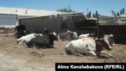 Домашний скот жителей Жанарыка после выпаса. Кызылординская область, 26 июня 2014 года.