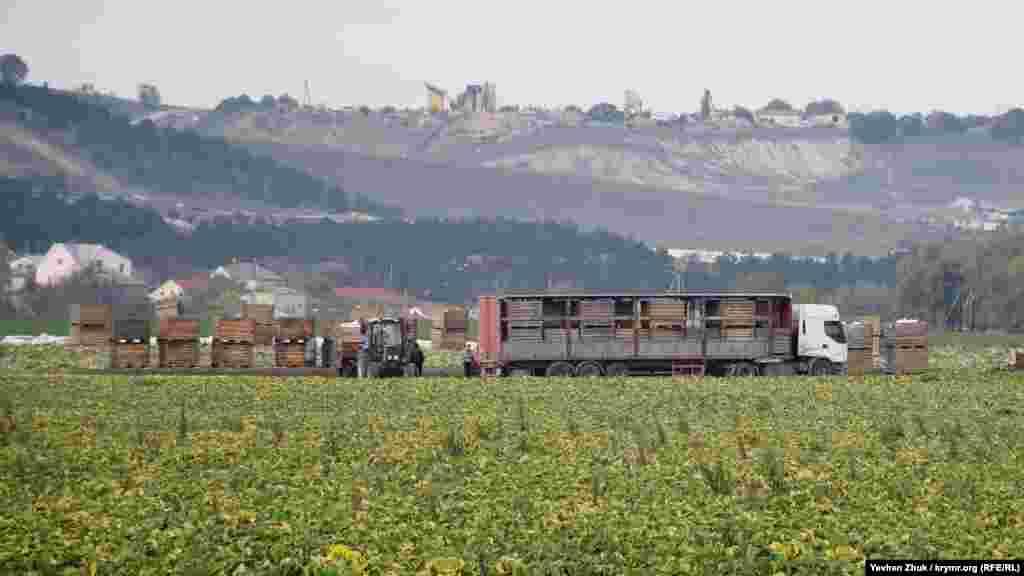 На капустном поле идет уборка урожая