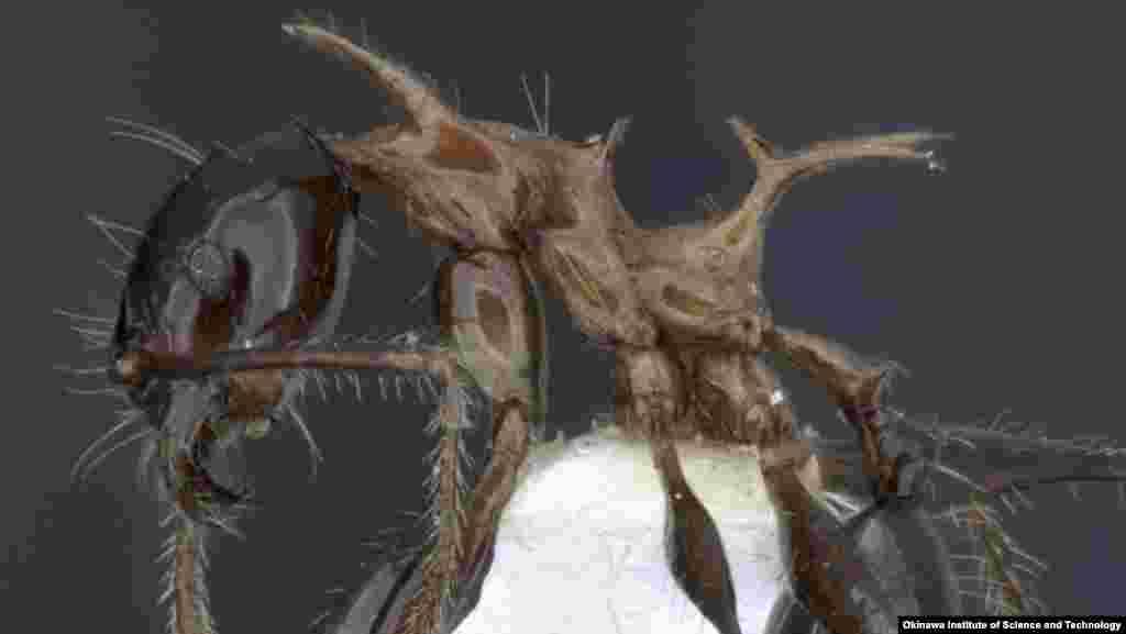 مورچه در پاپوآ گینه نو کشف شده است که روی پشتش خار دارد و به خاطر ظاهر اژدهامانندش به یاد اژدهای سریال بازی تاج و تخت «فئیدول دروگون» نامیده شده