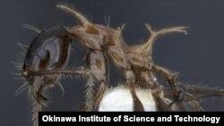 مورچه «فئیدول دروگون»