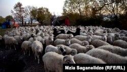 ცხვრის ფარა კახეთში
