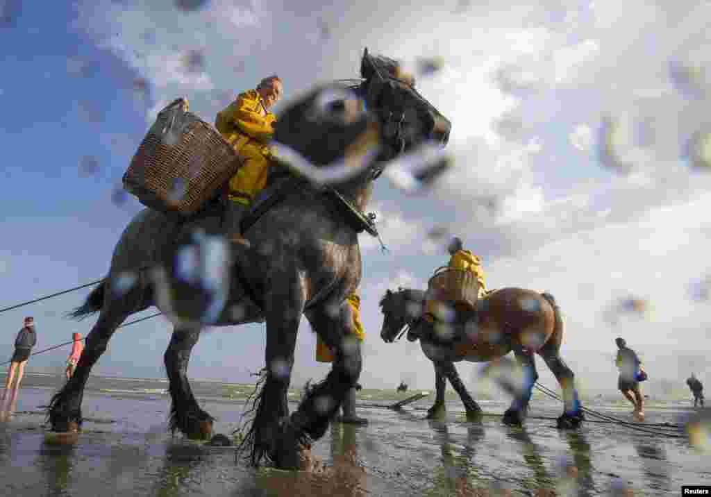 Belgian shrimp fishermen use horses to haul nets into the sea to catch shrimp during low tide in the coastal town of Oostduinkerke. This traditional method of catching shrimp along the North Sea coast, which dates back some 500 years, attracts tourists every summer. In 2013, UNESCO recognized shrimp fishing on horseback as an intangible cultural heritage. (Reuters/Yves Herman)