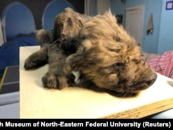 A prehistoric puppy, thought to be from about 18,000 years ago, was exposed by the thawing of the permafrost in Russia's Far East in 2018. Recent climate change has helped uncover many Siberian evolutionary secrets.
