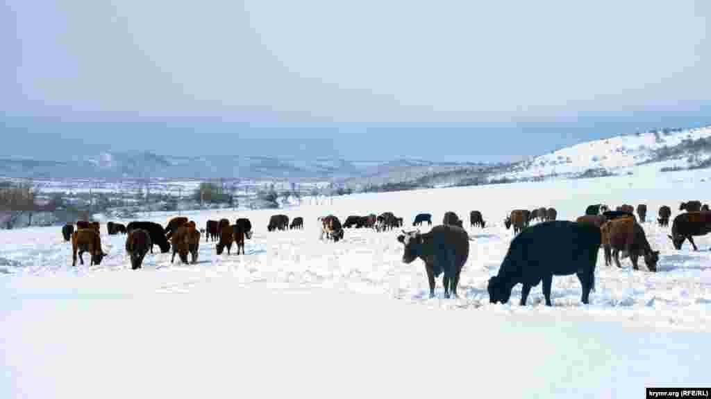Стадо корів місцевого фермерського господарства на випасі