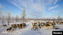 Выпас оленей на Ямале, архивное фото