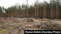 Вырубка в Нижнеольшанском лесу