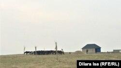 Люди, выгоняющие на выпас лошадей, на территории кооператива «Жер-Ана 1». Шымкент, 10 марта 2021 года.