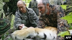 Then-Russian Prime Minister Vladimir Putin (left) secures a GPS-Argos satellite transmitter onto a tiger during his visit to the Ussuriysky forest reserve in 2008.