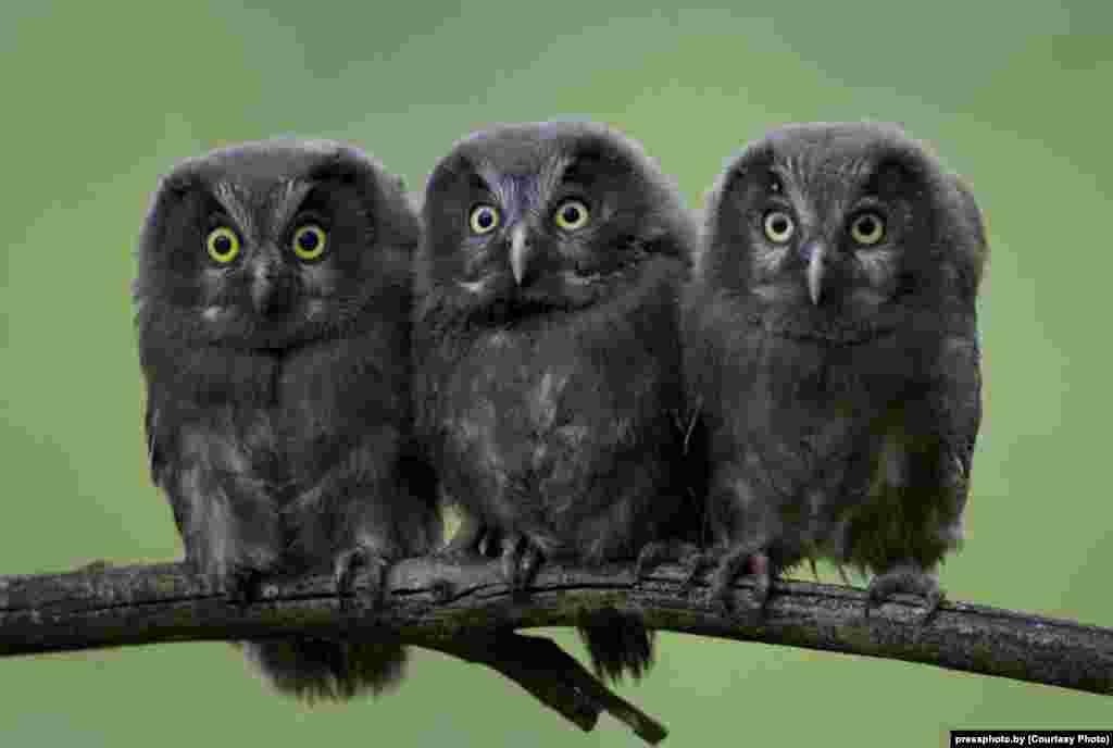 Owl chicks by photographer Natallya Ablazhey