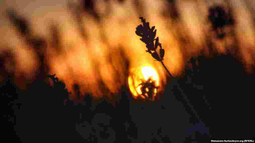 Lavanda tarlası kün batışında