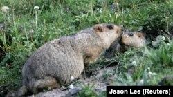 Сурки, от которых, предположительно, произошли недавние заражения бубонной чумой в Монголии и Китае.