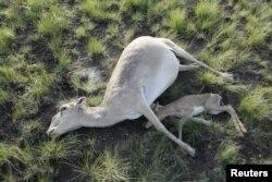 Жутта өлгөн бөкөн улагы менен. Кустанай облусу. 20-май 2015-жыл