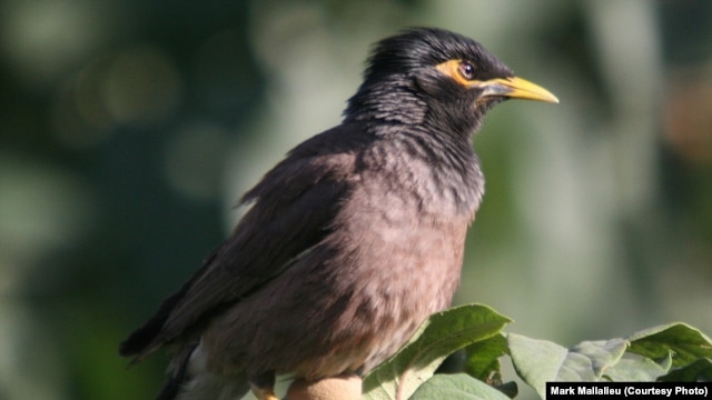 A common myna bird in Kabul in July -- a photo by Mark Mallalieu