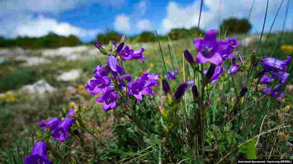 Флора Байдарской яйлы: цветы колокольчик