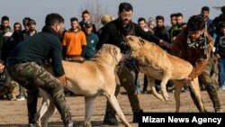 جنگ سگها در گلوگاه مازندران