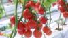 Türkmenistanyň Russiýa eksport eden 18 müň tonnalyk pomidoryndan zyýanly mör-möjek tapyldy