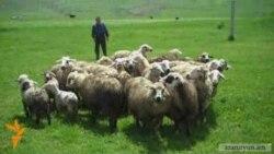 Լոռու մարզում գայլերը ավելի քան 90 գլուխ ոչխար են հոշոտել