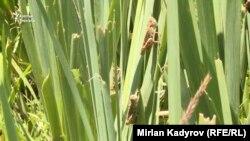 اما وزارت زراعت میگوید که این ملخها تا چند روز دیگر مسیر خود را طرف پاکستان تغییر خواهند داد.
