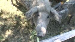 Кучеряві свинки та леквар – особливості закарпатського еко-туризму